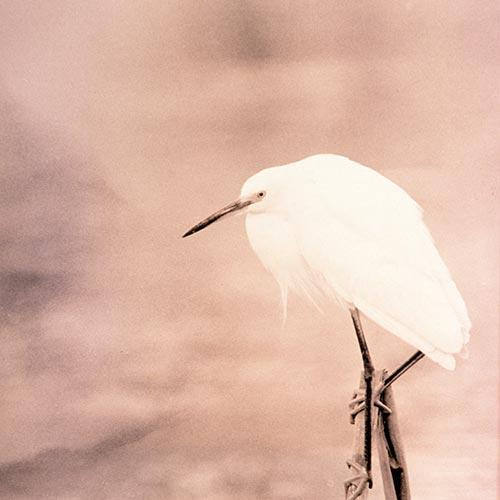 Snowy Egret in Lith An Alternate Processed Fine Art Bird Photo