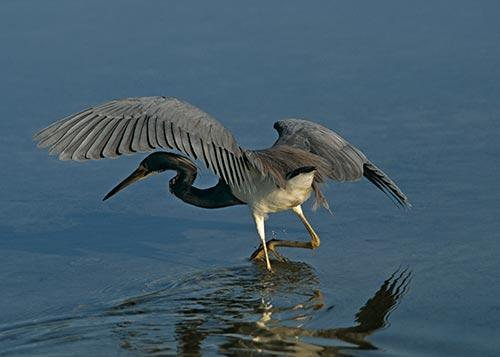 Heron Fishing at Sanibel Island Fine Art Photo Bird Art