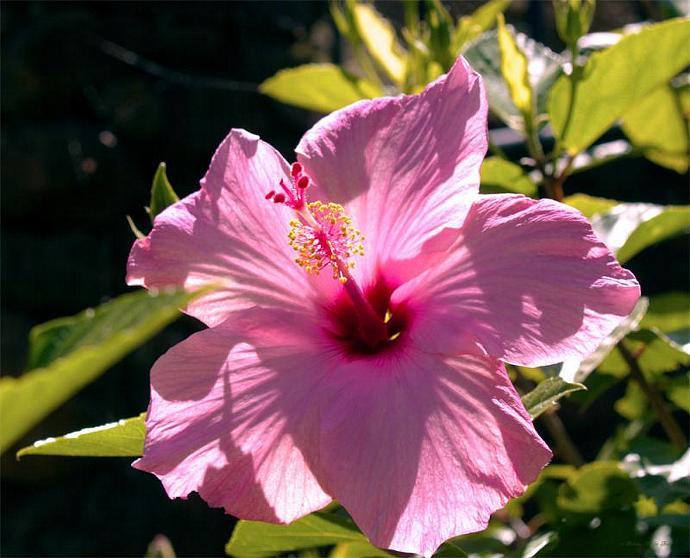 Pink Hibiscus- fine art print