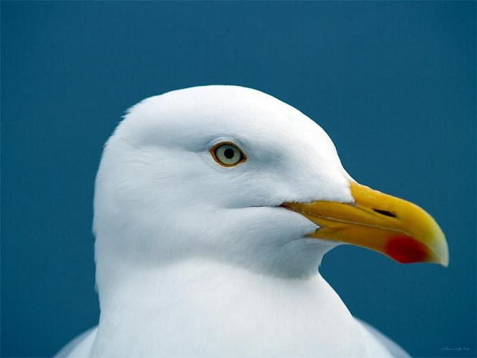 Seagull I- fine art print