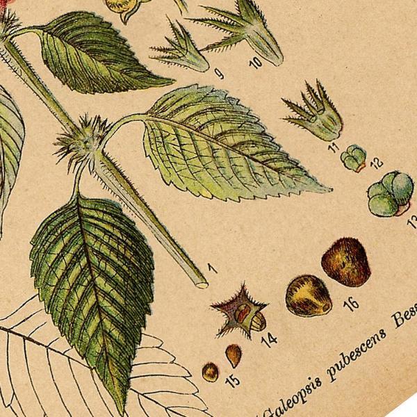 Nettles 1890 Antique August Schleyer German Engraved Botanical