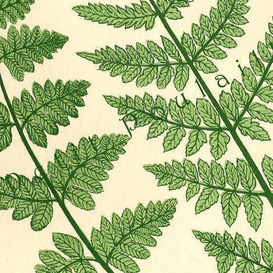 Edwardian Ferns 1903 Edwardian Phoebe Lankester Antique Engraved Botanical