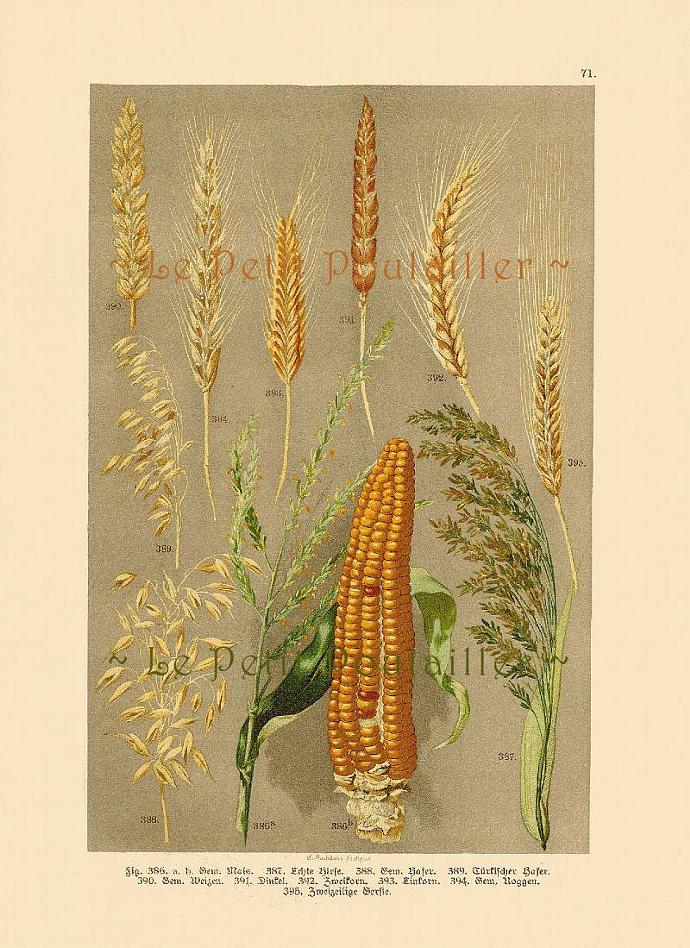 Grains 1892 German Engraved Botanical Chromolithograph