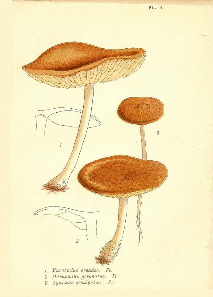 Fairy Ring Mushrooms 1884 Victorian Mordecai Cubitt Cooke Engraved Botanical