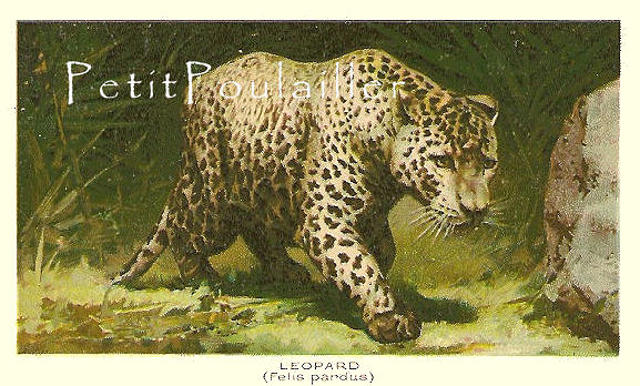 Leopard and European Lynx 1895 Victorian Natural History Antique Engraved
