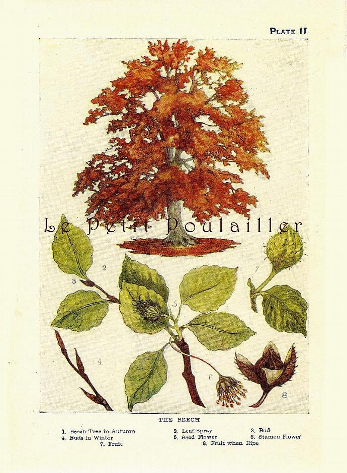 Beech Tree 1901 Edwardian Janet Harvey Kelman Antique Botanical Lithograph, Pl
