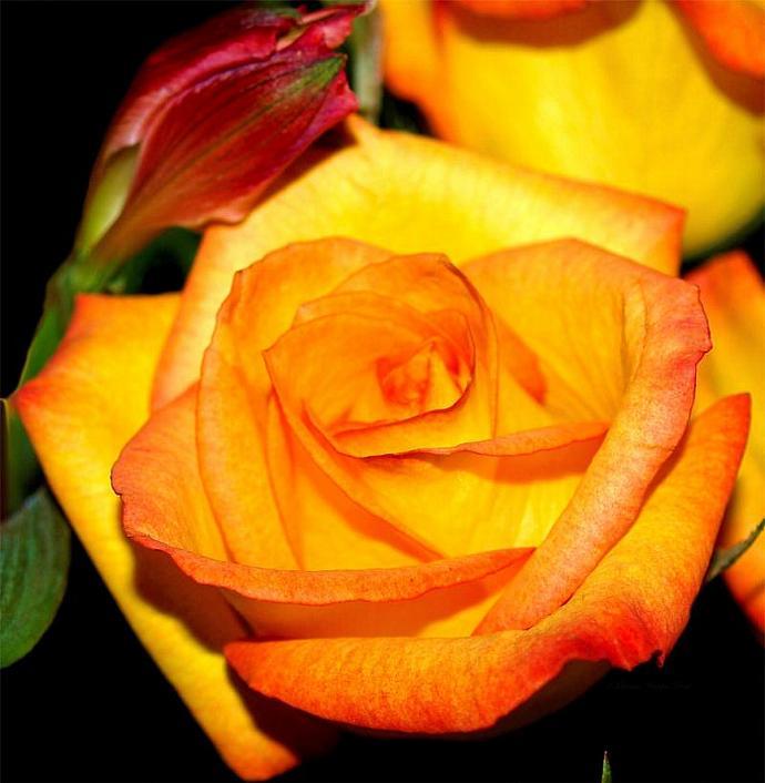A Rose is a Rose- fine art print