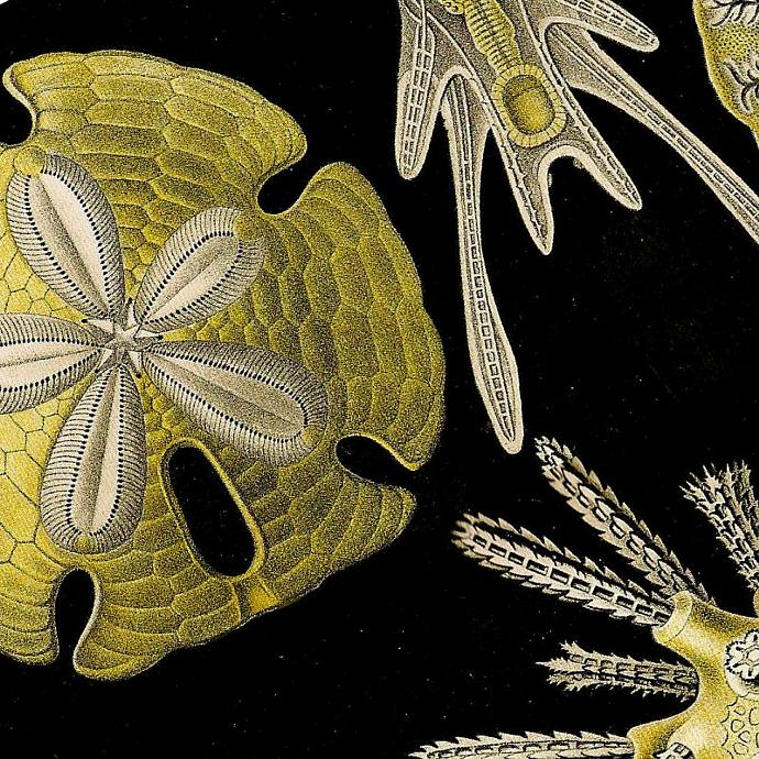 Sea Biscuits and Coral 1990 Vintage Ernst Haeckel 'Art Forms in Nature'