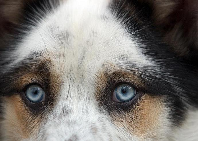 Blue Eyed Dog Animal Fine Art Photo