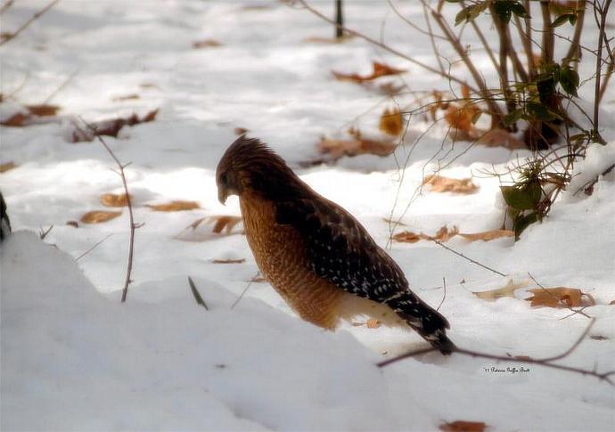 Winter Hawk-  fine art print