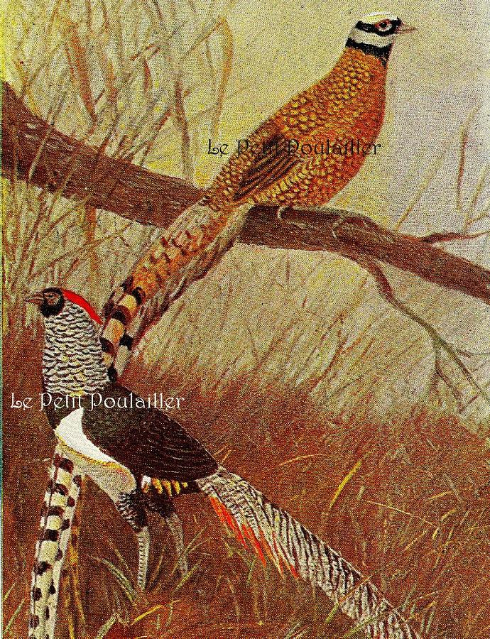 King's Pheasant and Lady Amherst Pheasant 1893 Antique Kurt Zander German