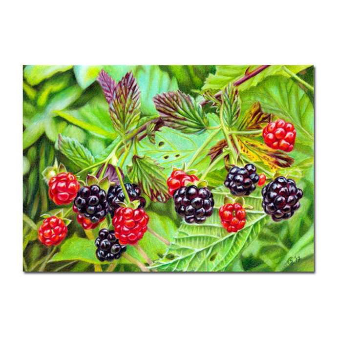 BLACKBERRIES summer fruits berries colored pencils painting Sandrine Curtiss Art