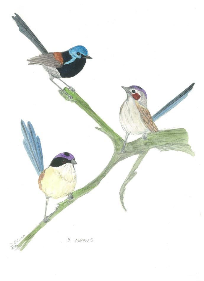 Three Fairy Wrens
