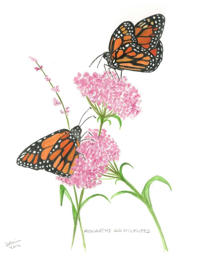 Monarchs and Milkweed