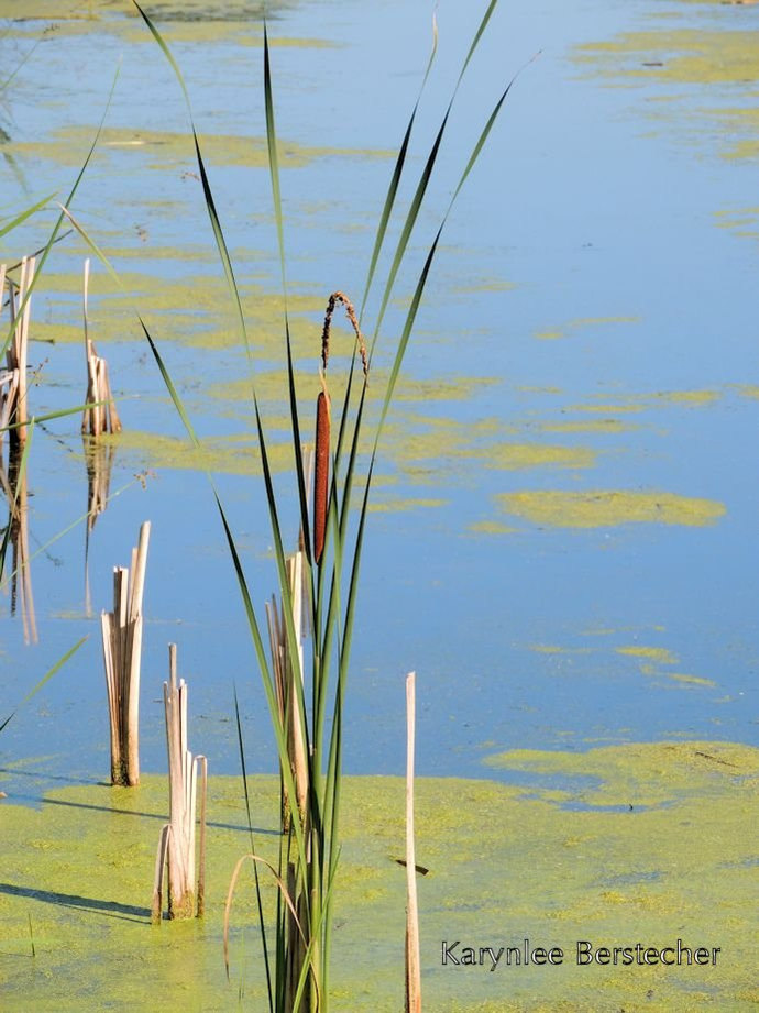 Dancing Cattails, Fine Art Photography, Matted Photography, Blue and Green, Zen