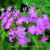 Purple Flower Image, Fine Art Photography, Matted Photography, Mountain Decor,