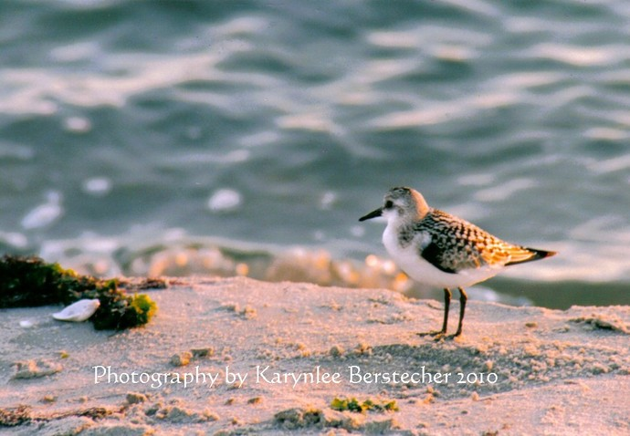 Wistful Sandpiper, Shore Photography, Fine Art Photography, Matted Photography,