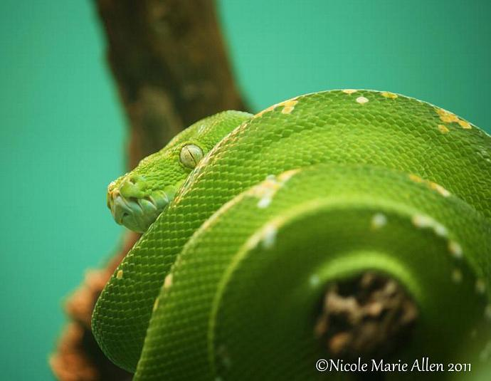 Emerald: 8x10 Giclée Print of Tree Boa