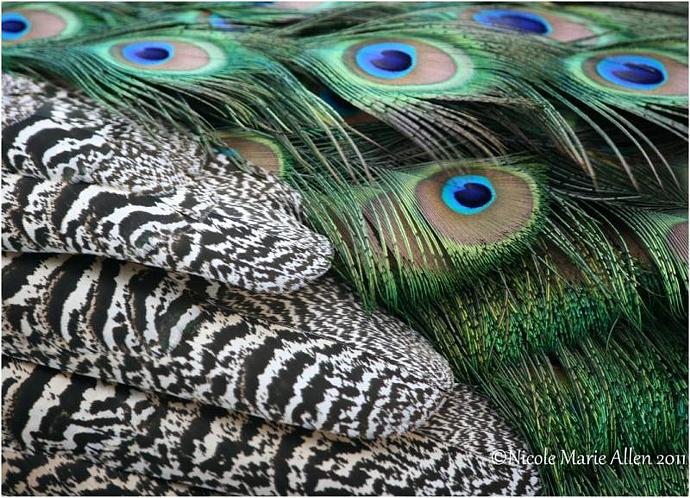 Plumage: 8x11 Giclée Print of Peacock Feathers