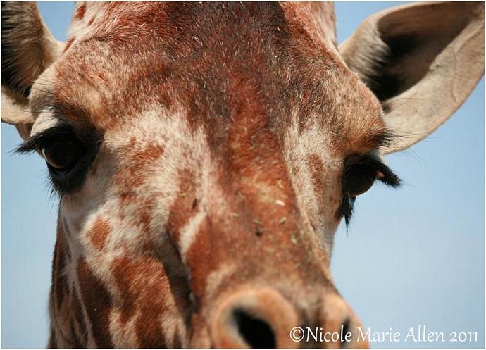 In your Face: 8x11 Giclée Print of Giraffe