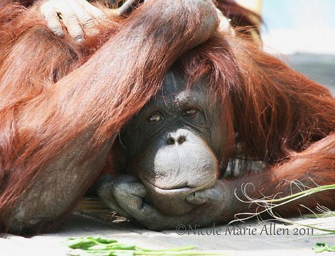 Bemused: 8x10 Giclée Print of Orangutan