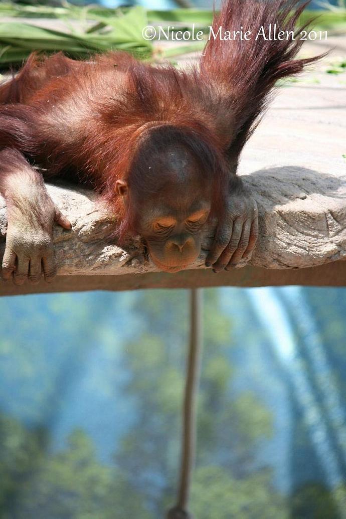 Curious Georgia: 8x12 Giclée Print of Orangutan