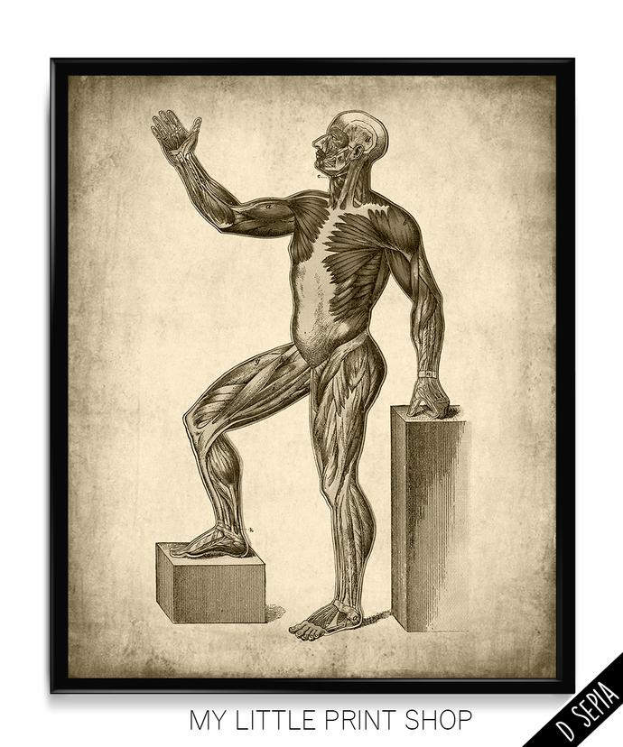 Vintage Muscle Anatomy