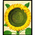 Vintage Sunflower Botanical Print