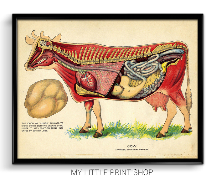 Vintage Cow Internal Anatomy