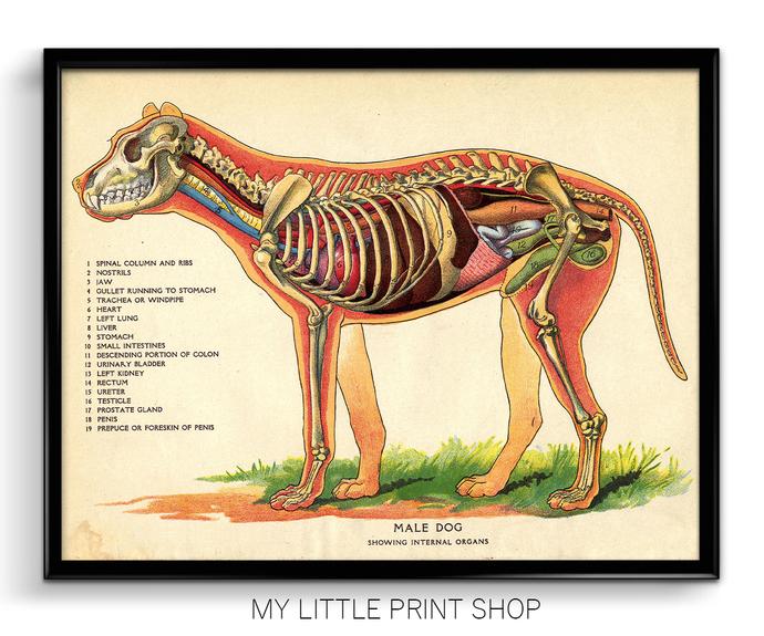 Vintage Dog Internal Anatomy By My Little Print Shop On Zibbet