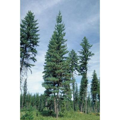 25 Western White Pine Tree Seeds, Pinus monticola