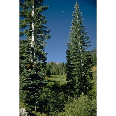 25 White Fir Tree Seeds, Abies concolor - Iowiana