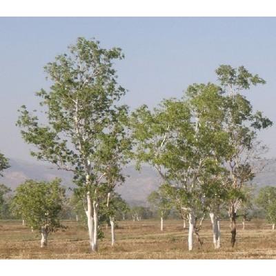 25 White Gum Tree Seeds, Eucalyptus alba