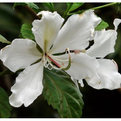 25 White Orchid Tree Seeds, Bauhinia variegata var. Alba