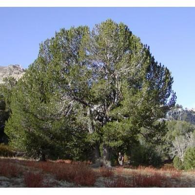 25 Whitebark Pine Tree Seeds, Pinus albicaulis