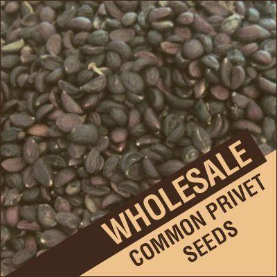 1 lb. Common Privet Seeds