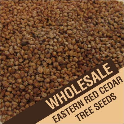 1 lb. Eastern Red Cedar Tree Seeds