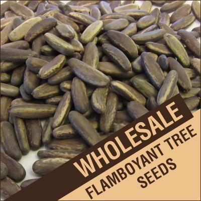 1/2 lb. Flamboyant Tree Seeds