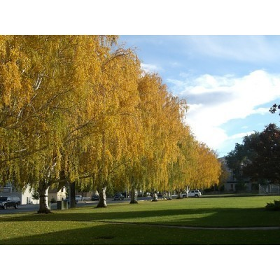 25 Yellow Birch Tree Seeds, Betula lutea