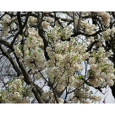 25 Yellowhorn Tree Seeds, Xanthoceras sorbifolium, Northern