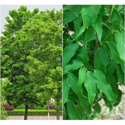 25 Yunnan Maple Tree Seeds, Acer cinnamomifolium