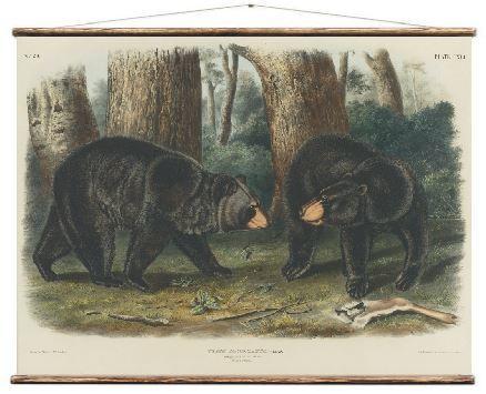 hang poster   American black bear