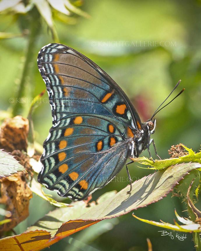 Nature Portrait: Butterfly
