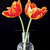 Still Life Portrait: Twin Tulips