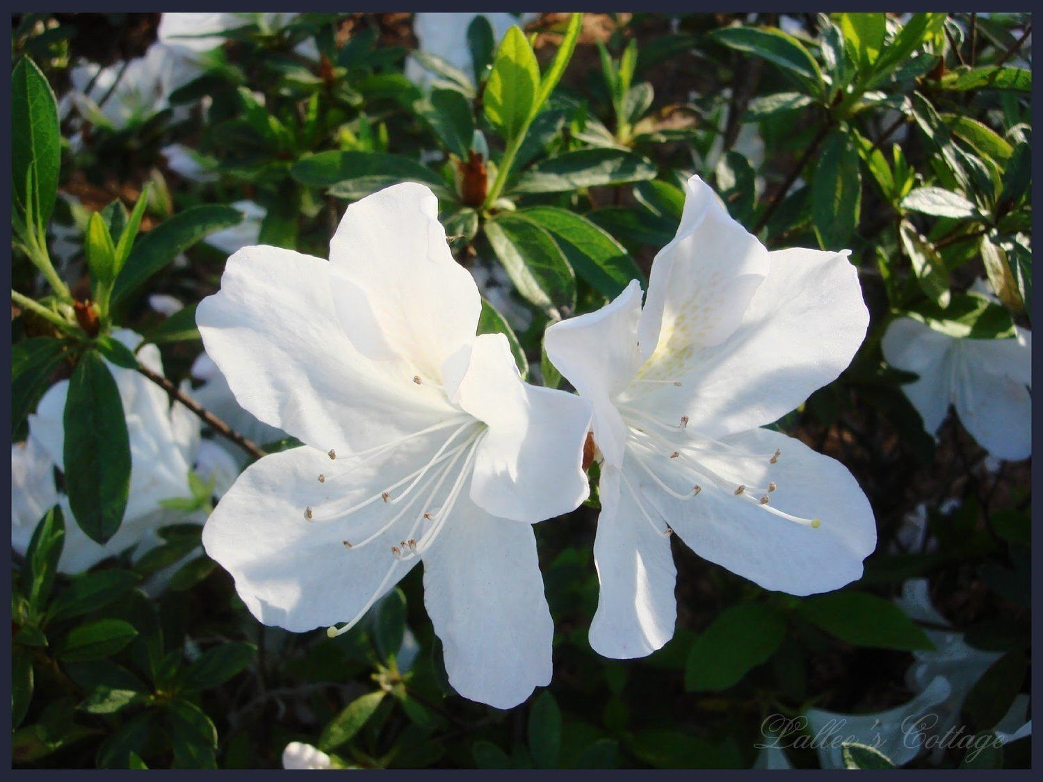 Azalea Rhododendron Gg Gerbing White Qty 40 By Air Garden On