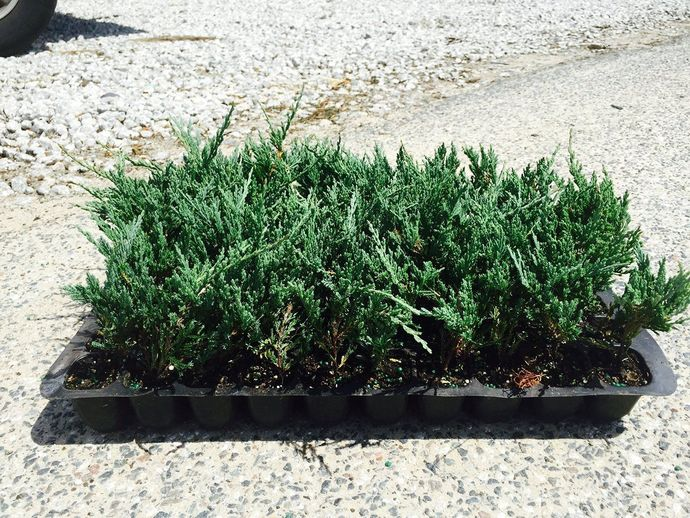 Bar Harbor Juniper Groundcover Qty 60 Live Plants Evergreen Ground Cover