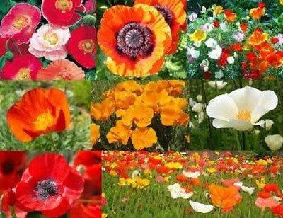 150 oriental poppy flower seeds new hybrids by flowerseedshop on 150 oriental poppy flower seeds new hybrids mixed poppies papaver orientale mightylinksfo
