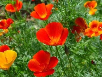 Mikado california poppy flower 100 fresh by flowerseedshop on zibbet mikado california poppy flower 100 fresh seeds mightylinksfo