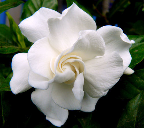 Gardenia veitchii white flower very fragrant by air garden on zibbet gardenia veitchii white flower very fragrant well rooted in a 4 inch pot mightylinksfo
