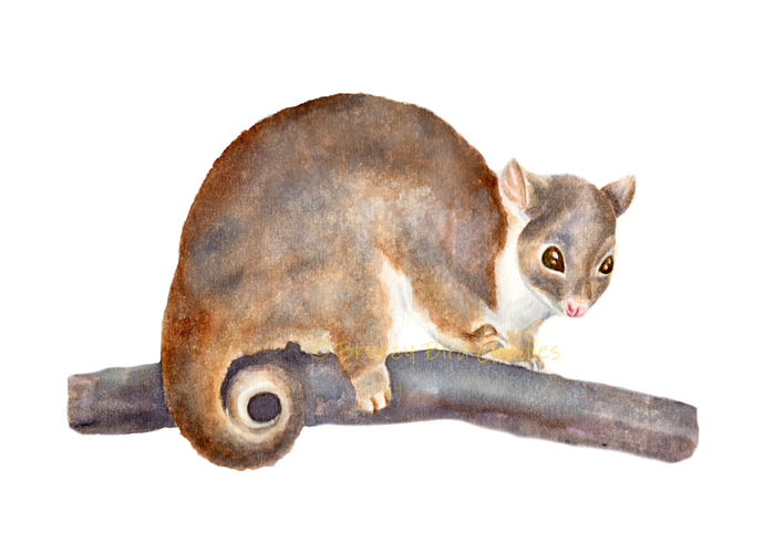 Ringtail Possum Print, Watercolour Possum Print, Australian Marsupial Animal,